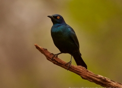 Glossy-Starling-copyright-photographers-on-safari-com-6285