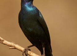 Glossy-Starling-copyright-photographers-on-safari-com-6289