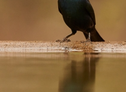 Glossy-Starling-copyright-photographers-on-safari-com-6290
