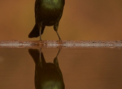 Glossy-Starling-copyright-photographers-on-safari-com-6291