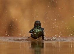 Glossy-Starling-copyright-photographers-on-safari-com-6292