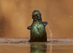 Glossy-Starling-copyright-photographers-on-safari-com-6293
