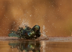 Glossy-Starling-copyright-photographers-on-safari-com-6294