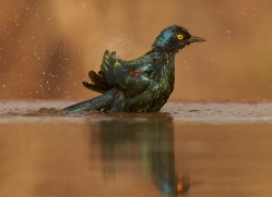 Glossy-Starling-copyright-photographers-on-safari-com-6295