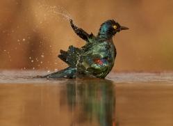 Glossy-Starling-copyright-photographers-on-safari-com-6296