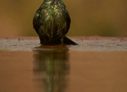 Glossy-Starling-copyright-photographers-on-safari-com-6297