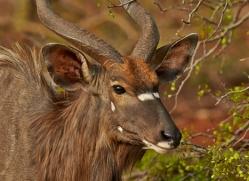 Greater-Kudu-copyright-photographers-on-safari-com-6298