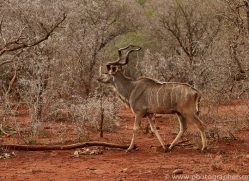 Greater-Kudu-copyright-photographers-on-safari-com-6299