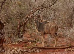 Greater-Kudu-copyright-photographers-on-safari-com-6300