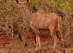 Greater-Kudu-copyright-photographers-on-safari-com-6301