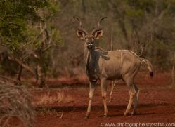 Greater-Kudu-copyright-photographers-on-safari-com-6302