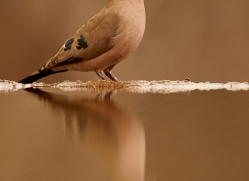 Green-Spotted-Dove-copyright-photographers-on-safari-com-6303