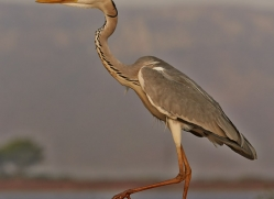 Grey-Heron-copyright-photographers-on-safari-com-6309