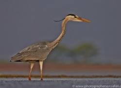 Grey-Heron-copyright-photographers-on-safari-com-6311