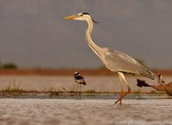 Grey-Heron-copyright-photographers-on-safari-com-6312