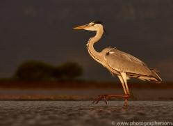 Grey-Heron-copyright-photographers-on-safari-com-6313