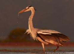 Grey-Heron-copyright-photographers-on-safari-com-6314