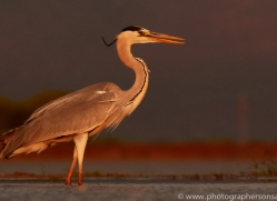 Grey-Heron-copyright-photographers-on-safari-com-6315