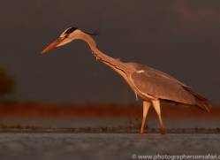 Grey-Heron-copyright-photographers-on-safari-com-6316