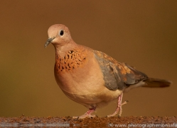 Laughing-Dove-copyright-photographers-on-safari-com-6321