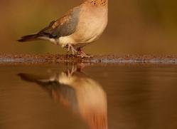 Laughing-Dove-copyright-photographers-on-safari-com-6322