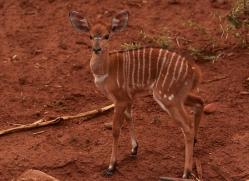 Nyala-copyright-photographers-on-safari-com-6326