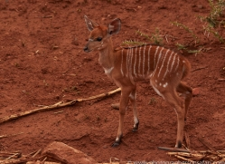 Nyala-copyright-photographers-on-safari-com-6327