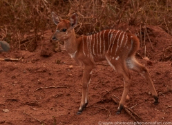 Nyala-copyright-photographers-on-safari-com-6328