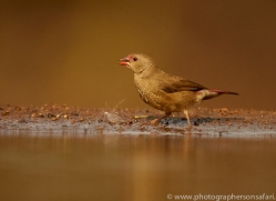 Red-Billed-Firefinch-copyright-photographers-on-safari-com-6333