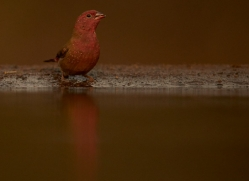 Red-Billed-Firefinch-copyright-photographers-on-safari-com-6334