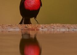Scarlet-Chested-Sunbird-copyright-photographers-on-safari-com-6336