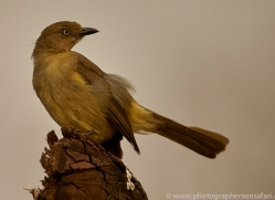 Sombre-Greenbul-copyright-photographers-on-safari-com-6339