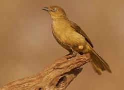 Sombre-Greenbul-copyright-photographers-on-safari-com-6340