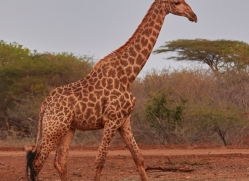 Southern-Giraffe-copyright-photographers-on-safari-com-6342