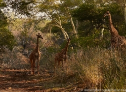 Southern-Giraffe-copyright-photographers-on-safari-com-6343