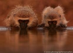 Vervet-Monkey-copyright-photographers-on-safari-com-6347