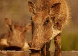 Wart-Hog-copyright-photographers-on-safari-com-6350