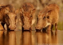 Wart-Hog-copyright-photographers-on-safari-com-6351