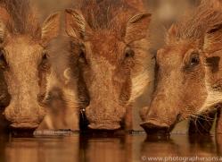 Wart-Hog-copyright-photographers-on-safari-com-6352