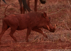 Wart-Hog-copyright-photographers-on-safari-com-6355