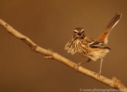 White-Browed-Scrub-Robin-copyright-photographers-on-safari-com-6359