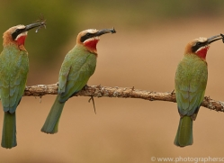 White-Fronted-Bee-Eater-copyright-photographers-on-safari-com-6364