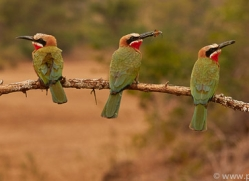White-Fronted-Bee-Eater-copyright-photographers-on-safari-com-6366