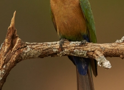 White-Fronted-Bee-Eater-copyright-photographers-on-safari-com-6367