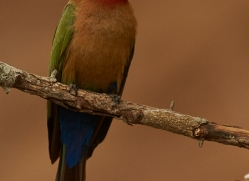 White-Fronted-Bee-Eater-copyright-photographers-on-safari-com-6369