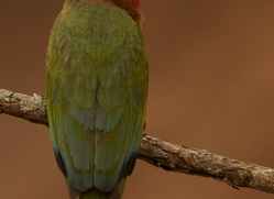 White-Fronted-Bee-Eater-copyright-photographers-on-safari-com-6370