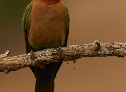 White-Fronted-Bee-Eater-copyright-photographers-on-safari-com-6371