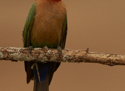 White-Fronted-Bee-Eater-copyright-photographers-on-safari-com-6372