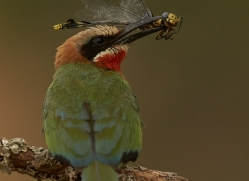 White-Fronted-Bee-Eater-copyright-photographers-on-safari-com-6373