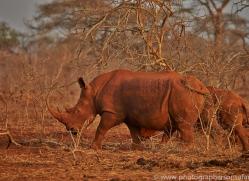 White-Rhino-copyright-photographers-on-safari-com-6377